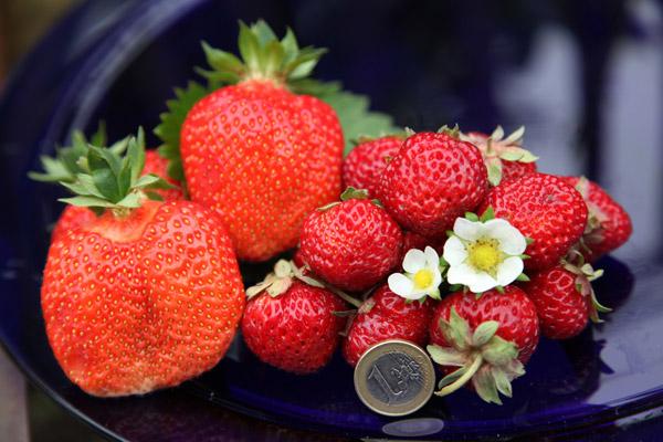 erdbeeren mieze schindler
